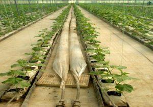 Θέρμανση θερμοκηπίων τομάτας, στη Νέα Απολλωνία Θεσσαλονίκης, με ελεύθερη ροή γεωθερμικού ρευστού